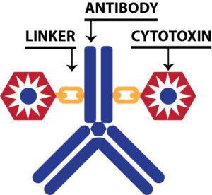 Structure of Antibody-Drug Conjugate with linker and drug toxin payload, and conjugation shown with the antibody IgG1